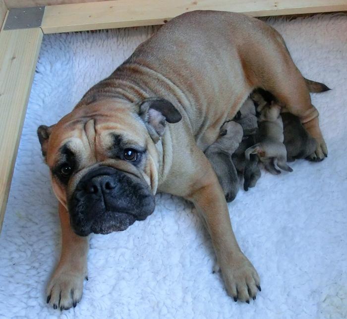 Continental Bulldog Margeta's Emily