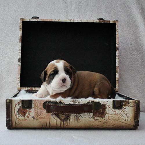 Continental Bulldog